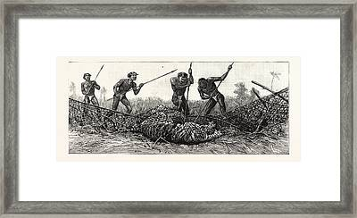 Tiger-netting In Bengal They Spear The Tiger Framed Print
