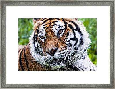Tiger On Grass Framed Print