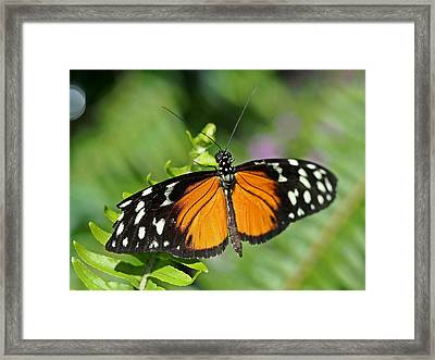 Tiger On The Leaf Framed Print by Atchayot Rattanawan