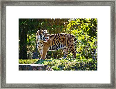 Tiger On The Prowl Framed Print