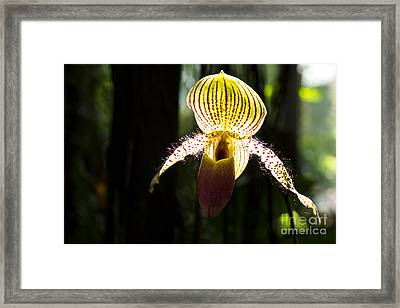Tiger Orchid Framed Print by Juan Romagosa
