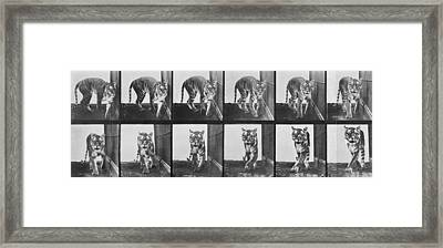 Tiger Pacing Framed Print by Eadweard Muybridge