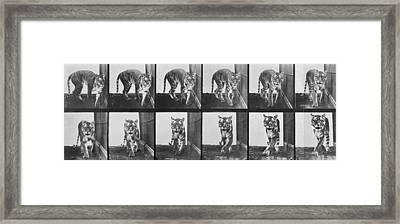 Tiger Pacing Framed Print