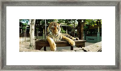 Tiger Panthera Tigris In A Tiger Framed Print by Panoramic Images