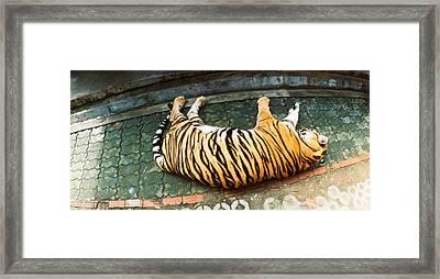 Tiger Panthera Tigris Sleeping Framed Print by Panoramic Images