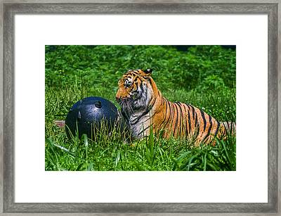 Tiger Playing With Ball Framed Print