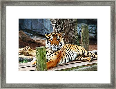 Tiger Portrait Framed Print by Aimee L Maher Photography and Art Visit ALMGallerydotcom