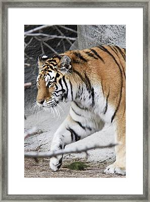 Tiger Prowls Framed Print by Michael Petrick