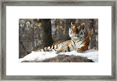 Tiger Relaxing Snow Cover Rock Framed Print