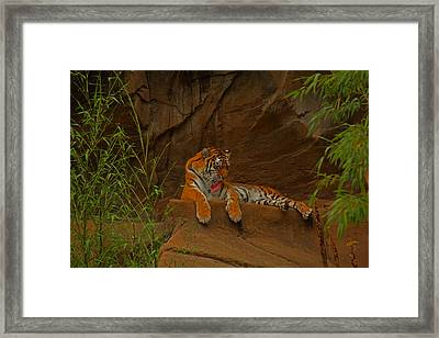 Framed Print featuring the photograph Tiger Resting by Andy Lawless