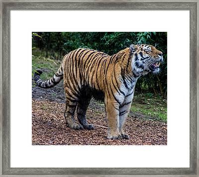 Tiger Roar Framed Print by Martin Newman