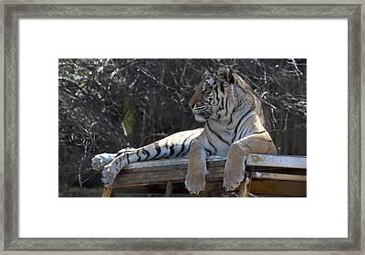 Tiger Framed Print by Sandra Silva