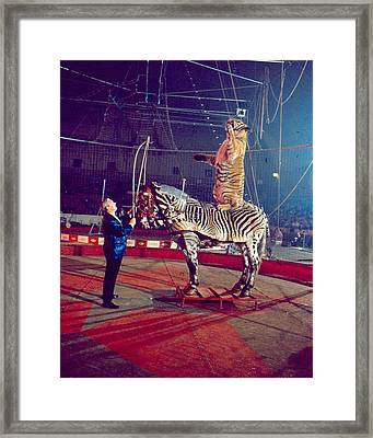 Tiger Stands Up On Top Of Zebra At Circus Framed Print
