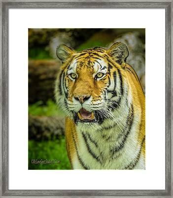 Tiger Stare Framed Print by LeeAnn McLaneGoetz McLaneGoetzStudioLLCcom