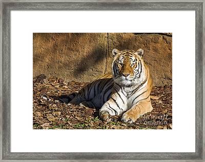 Tiger Framed Print by Steven Ralser