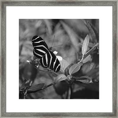 Tiger Stripe Butterfly Framed Print