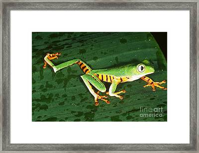 Tiger-striped Leaf Frog Framed Print by Gregory G. Dimijian, M.D.