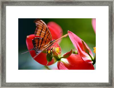 Tiger Stripped Butterfly Framed Print