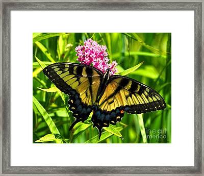 Tiger Swallotail Framed Print by Adam Olsen