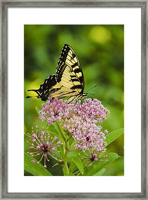 Framed Print featuring the photograph Tiger Swallow Tail by Bradley Clay