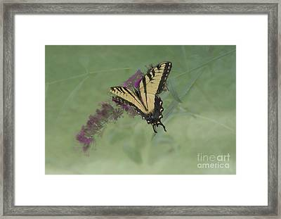 Tiger Swallow Tail Butterfly And Friend Framed Print