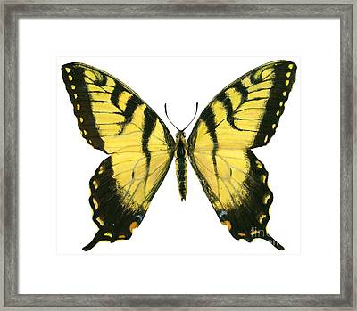 Tiger Swallowtail  Framed Print by Anonymous