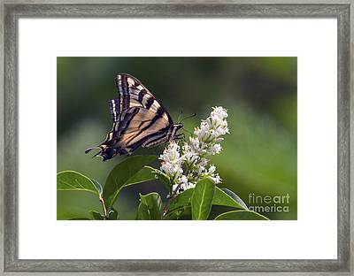 Tiger Swallowtail Butterfly 2 Framed Print by Sharon Talson