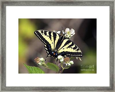 Tiger Swallowtail Butterfly 2a Framed Print by Sharon Talson