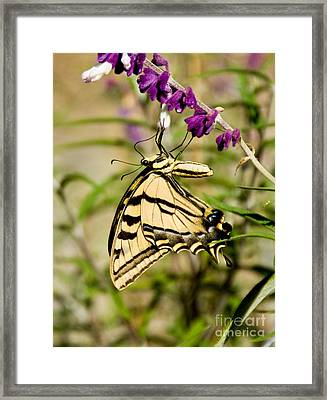 Tiger Swallowtail Butterfly Feeding Framed Print