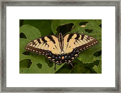 Tiger Swallowtail Butterfly Framed Print by John Cawthron