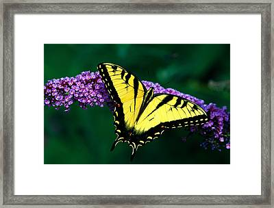 Tiger Swallowtail Butterfly On Blooming Framed Print by Panoramic Images