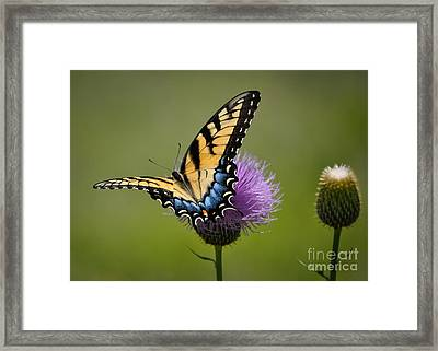 Tiger Swallowtail Framed Print by Cheryl McClure
