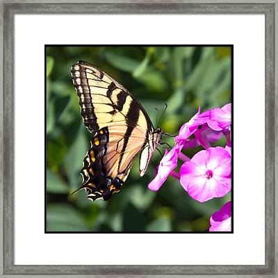 Tiger Swallowtail Framed Print