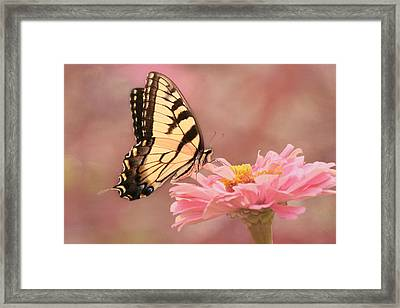 Tiger Swallowtail In The Pink Framed Print
