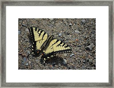 Framed Print featuring the photograph Tiger Swallowtail by James Petersen