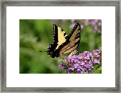 Tiger Swallowtail On Butterfly Bush 2 - Featured In 'comfortable Art' And 'flower W Co' Macro Groups Framed Print by EricaMaxine  Price