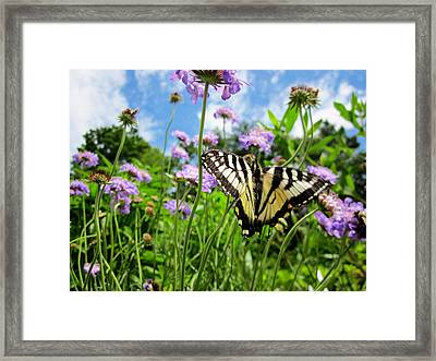 Tiger Swallowtail On Pincushion Flowers Framed Print by MTBobbins Photography