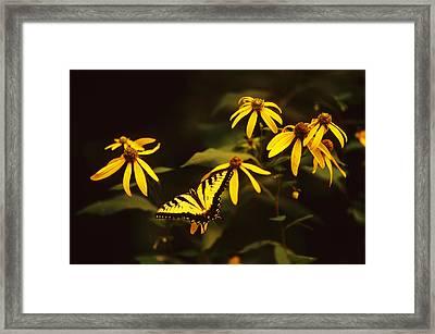 Tiger Swallowtail Perch  Framed Print by Bijan Pirnia
