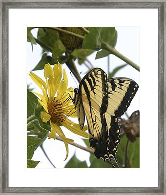 Framed Print featuring the photograph Tiger Swallowtail by Phyllis Peterson