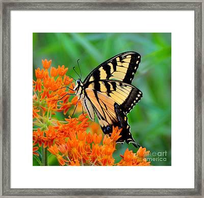 Tiger Swallowtail Framed Print by Stuart Mcdaniel