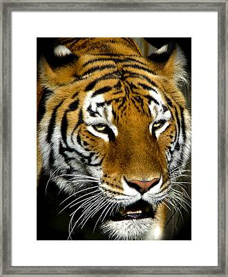 Tiger Tiger Burning Bright Framed Print by Venetia Featherstone-Witty