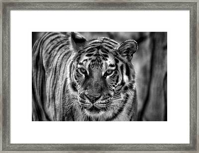 Tiger Tiger Monochrome Framed Print