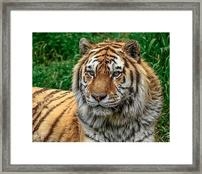 Tiger Tiger Framed Print