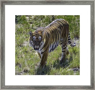 Tiger Framed Print by Tom Wilbert