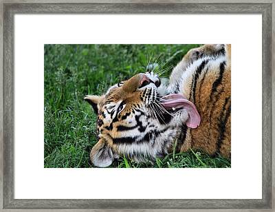 Tiger Tongue Framed Print by Dan Sproul