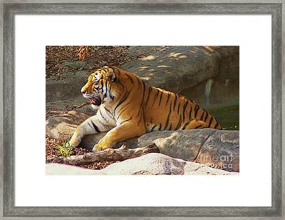 Tiger Tough Framed Print