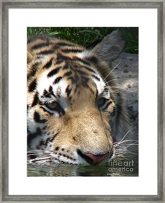 Tiger Water Framed Print by Greg Patzer