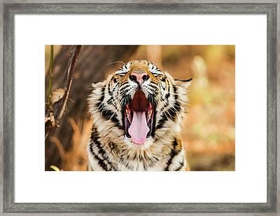 Tiger Yawn Framed Print by John Mckeen