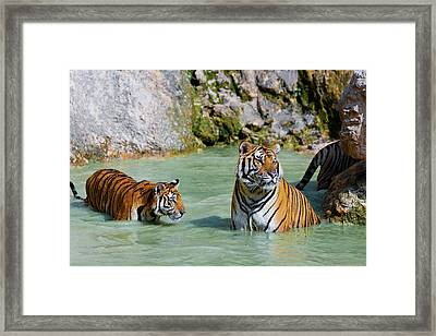 Tigers In Water, Indochinese Tiger Or Framed Print by Peter Adams