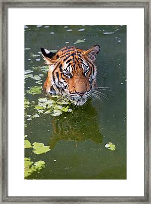Tigers Playing In Water, Indochinese Framed Print by Peter Adams